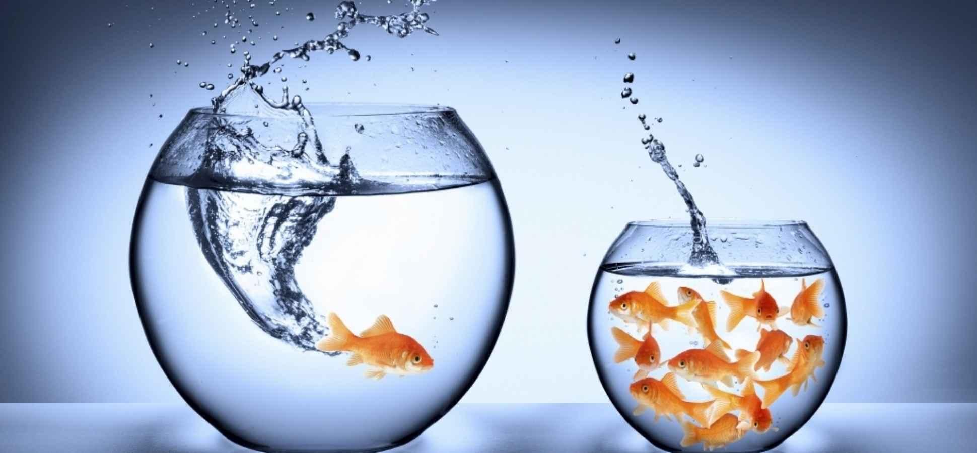 local vs international, fish, pond,
